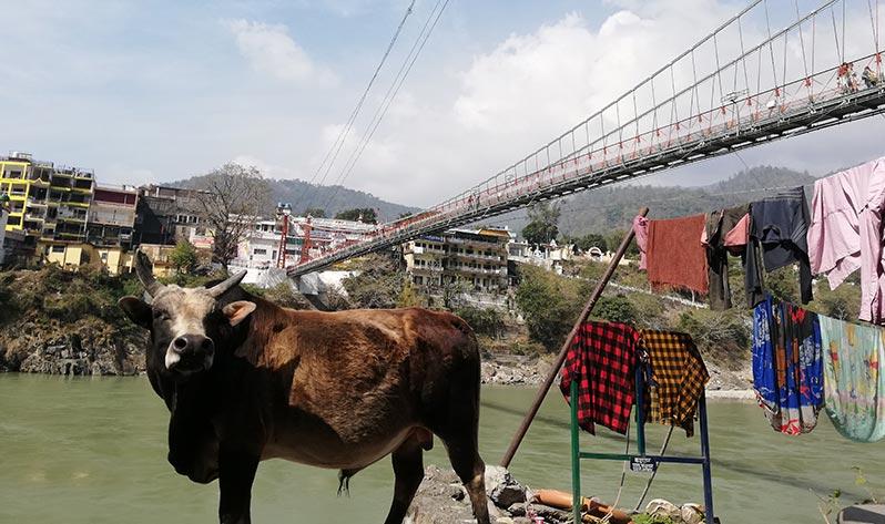 Vivir la India - Vaca